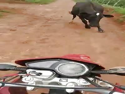 Angry cow hahahaha