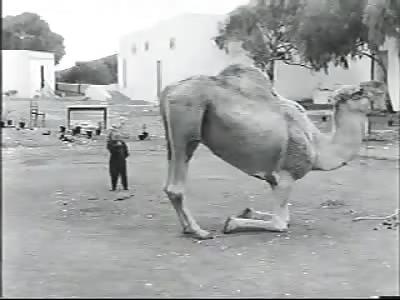 GERMAN MIDGET LAUGHING AT A CAMEL