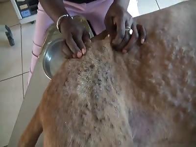 ridgeback-mix-max-magonworms