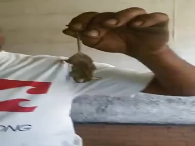 Eating dead rat
