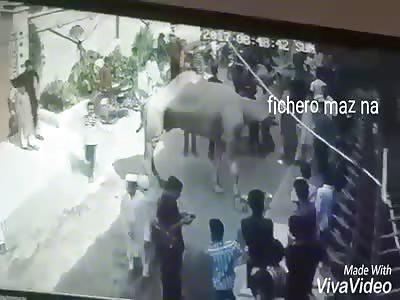 very dangerous camel's leg