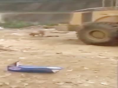 Pigs killing pigs