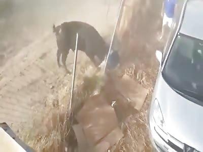 (Repost) Bull Disguised among Horses Gores an Onlooker
