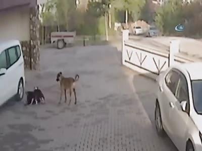 Schoolgirl Attacked by Pitbull