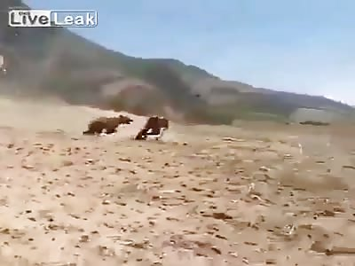 BEAR ATTACKS  PESHMERGA SOLDIERS  !!
