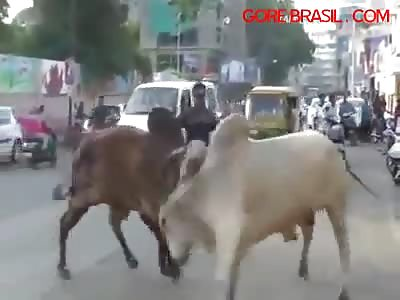 Bulls fighting falling on man