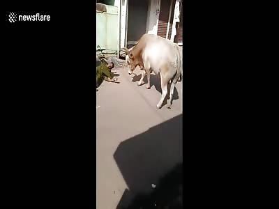 Bull casually knocks passenger