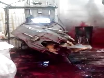 inhumane slaughter of cattle