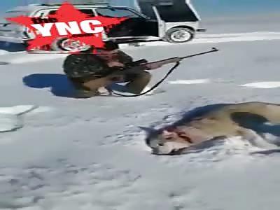 poacher thought he shot a wolf but then...