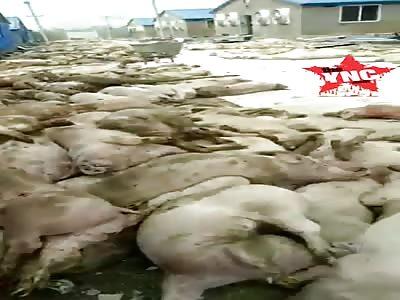 11,000 dead pigs one farm in  in Youxi County, Sanming, Fujian