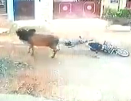 Huge Bull Kills Motorcyclist Instantly