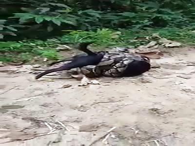 Damn! Dog Vs Python