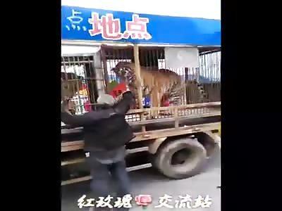 Tiger bites the elderly man