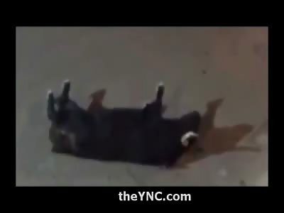 Powerful Bull First Kills another Bull, then Kills an Unlucky Man Caught on the Street