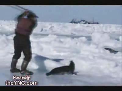 Horrific Seal Hunting: Warning Graphic