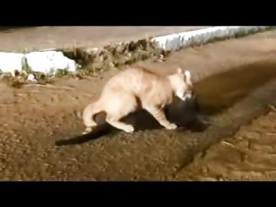 Necrophiliac Cat has Hardcore Sex with Deceased Cat until Someone Ruins It....