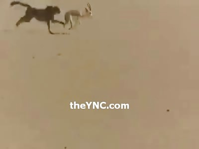 Arab Guy Brings his Pet Cheetah in the Desert to Hunt a Deer