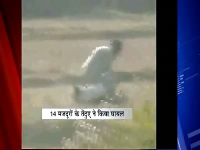 Peasant farmers take on killer leopard.