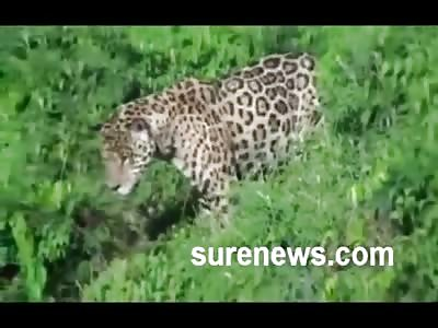 AMAZING: Leopard v. Aligator