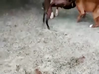 Two Pitbulls Attack and Kill Smaller Dog