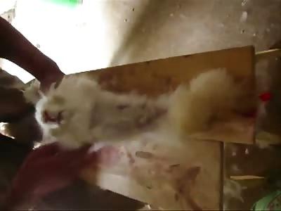 Cruel Treatment Of Rabbits in China