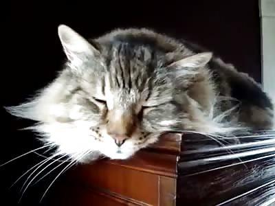CUTE MAINE COON CAT