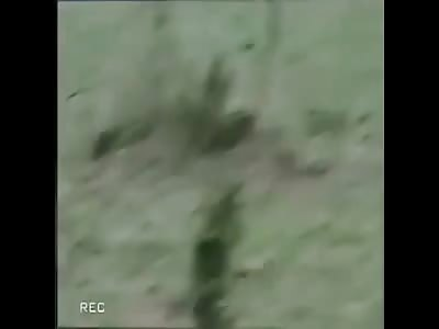 Lion killing Cheetah
