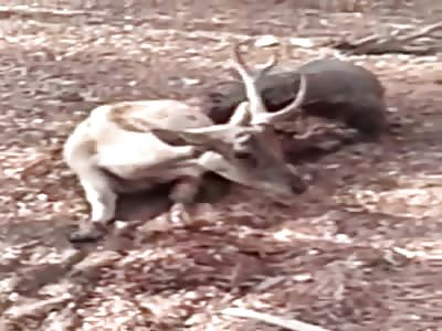 Komodo dragon eating a deer alive