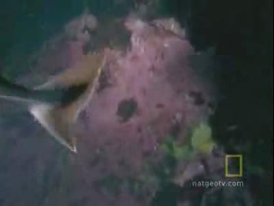 octopus attacking a shark