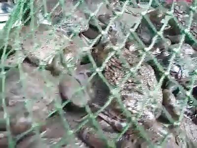 Frog Butcher!