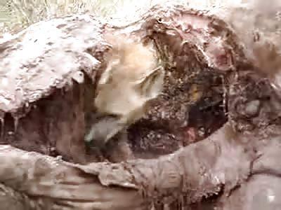 Hyena Eating Giraffe